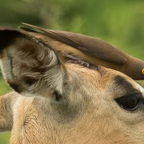 Impala with an Oxpecker on its head
