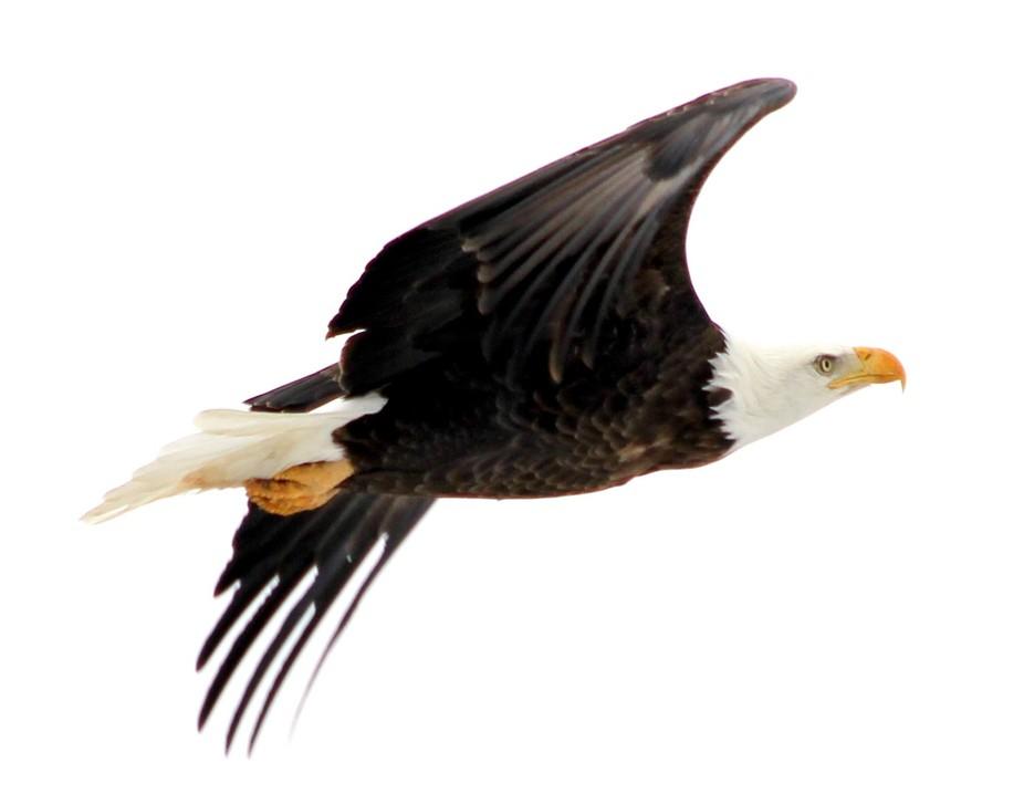Eagle is free