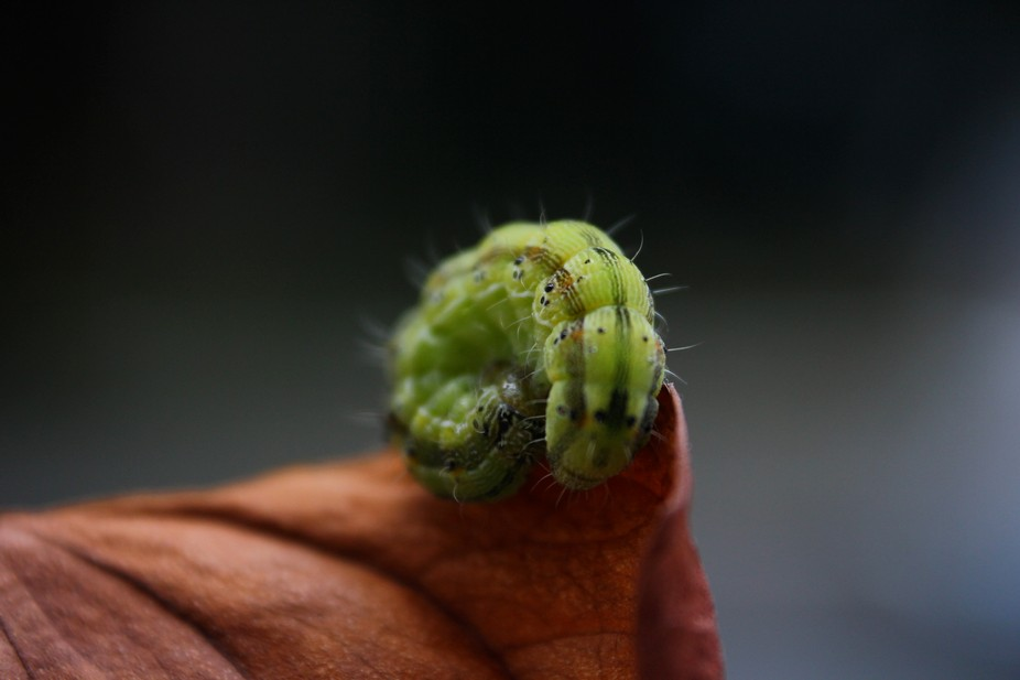 Once came across a caterpillar... Put him on a dried anthoruim... He loved the whole idea and cud...