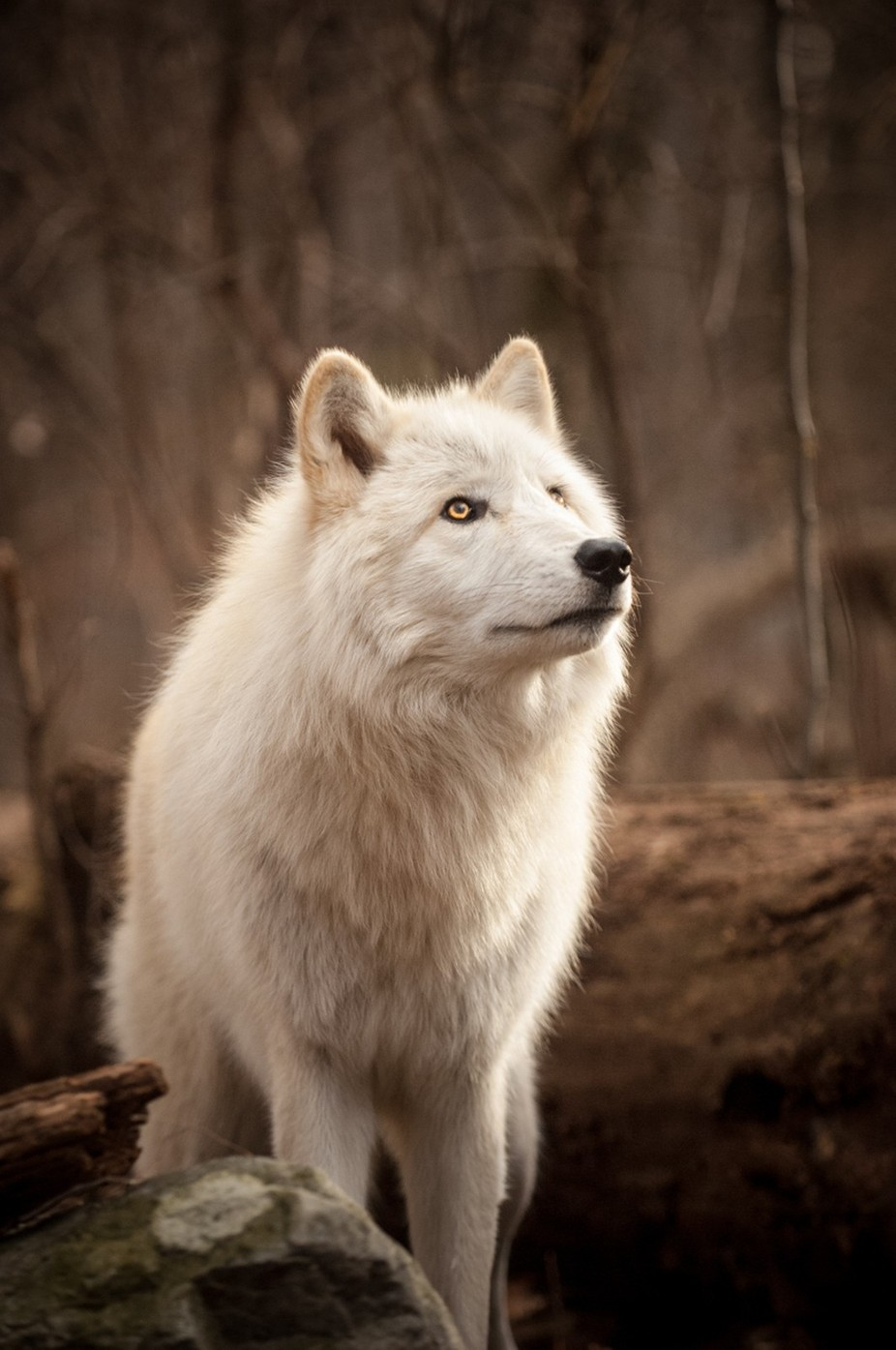 Lakota Wolf by pmkane - Wolves Photo Contest