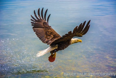 Eagle getting some lunch
