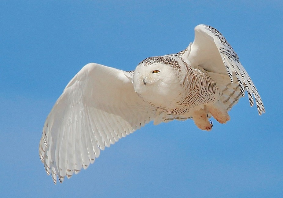 Snowy Owl on the Move