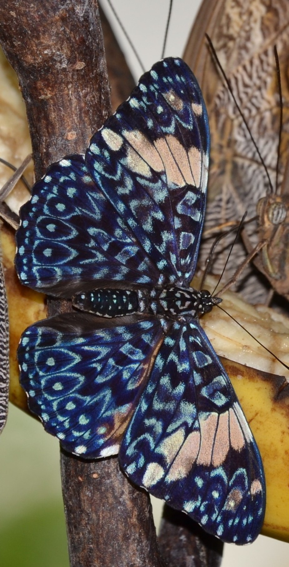 "Composed in the Key West Butterfly Nature Conservatory, Florida, Please click on the image for a full view. Cracker, Blue Hamadryas arinome  BLUE CRACKER* BUTTERFLY Hamadryas arinome. Cracker butterflies (also called Calico butterflies) are a neotropical group of medium-sized brush-footed butterfly species commonly found throughout South America to  Arizona. At least nine species can be found in Costa Rica. They acquired their common name due to the unusual way that males produce a ""cracking"" sound as part of their territorial displays. In the field, Hamadryas emit audible clicks when approached by potential predators."