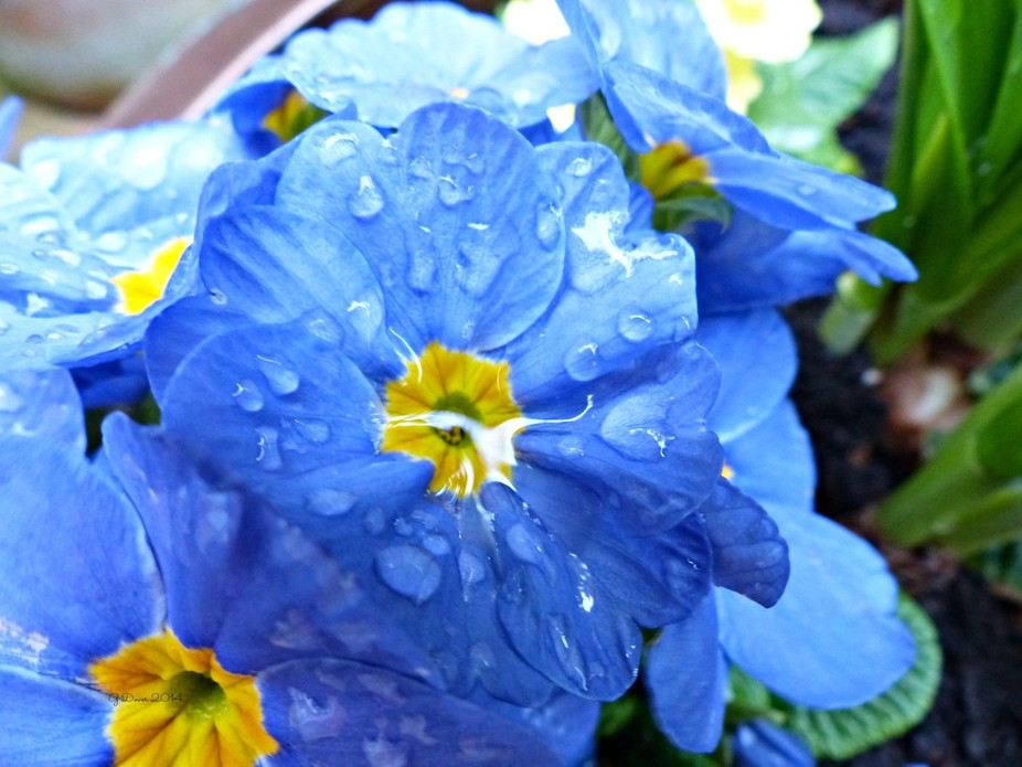 primula in the rain