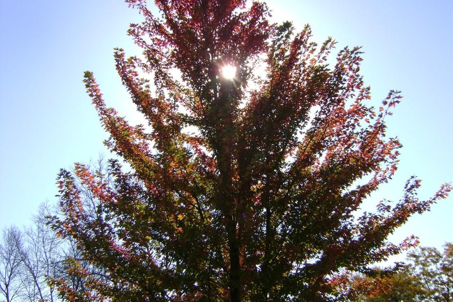 Sun pearsing from fall tree