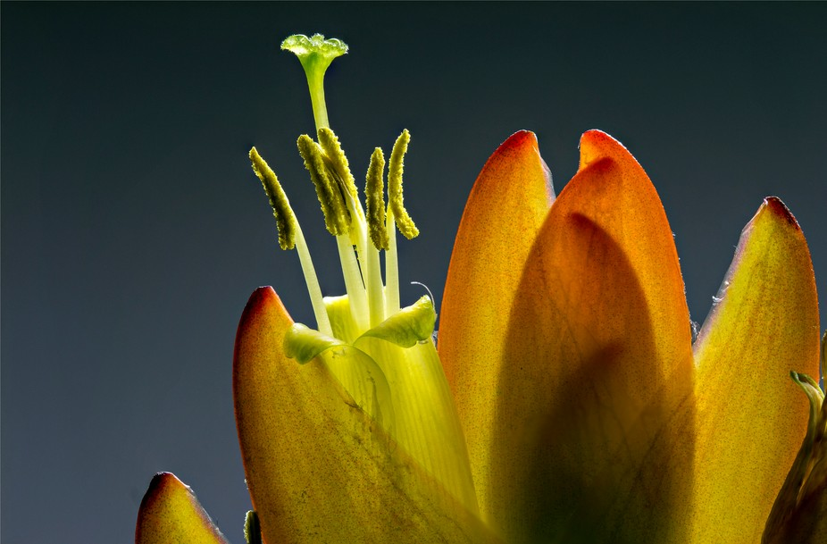Stacked close-up on the top of a Vriesia splendens.    The distance from top to bottom of this sh...