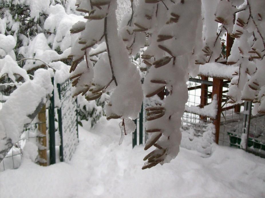 Noisetiers fleuris sous la neige.