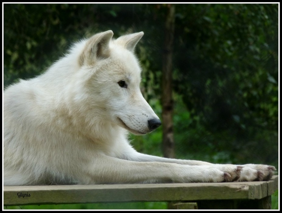 Canadian Arctic Wolf called Massak, taken at the UKWT at Beenham