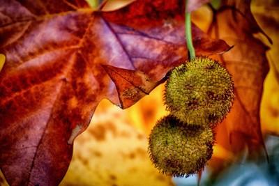 Colores otoñales. - Autumnal colors.