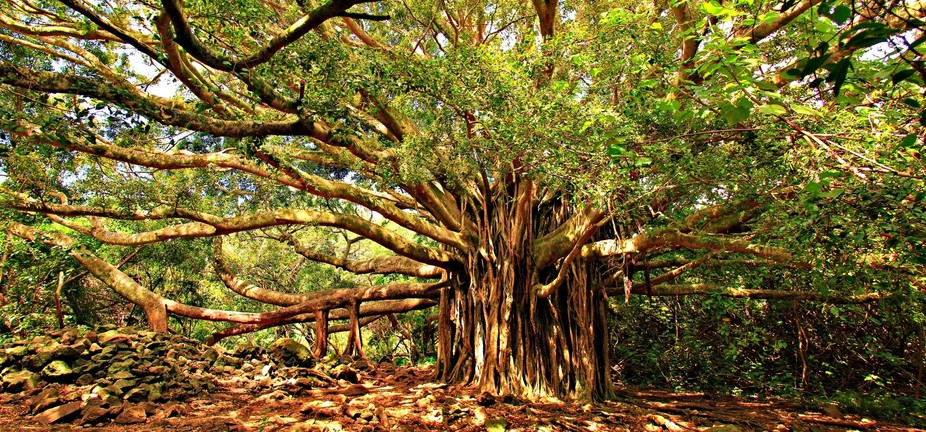 This photo was taken in Haleakala National Park on Maui. The tree was so huge I couldn\'t capture ...