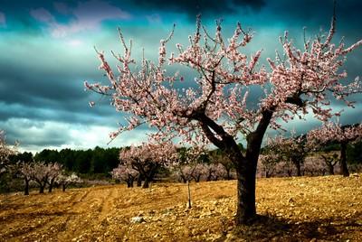 El almendro. - The almond tree.