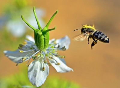 Honey bee flying away with large pollens load from the flower of Nigella sativa, Dirab, Riyadh, Saudi Arabia