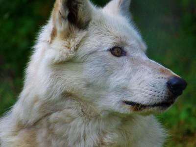 Wolf in wonder