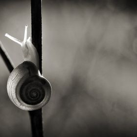 A snail in Black and white