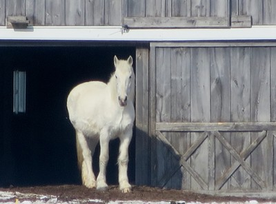 White Horse At Barn