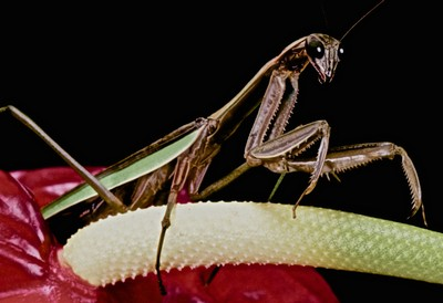 CHINESE MANTIS TAKING A WALK ON THE ANTHURIUM FLOWER