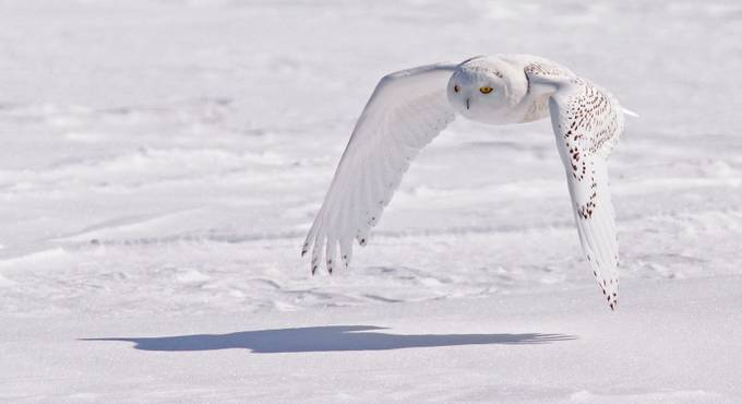 Snowy Flyby by ChrisThayer - Solo Animals Photo Contest