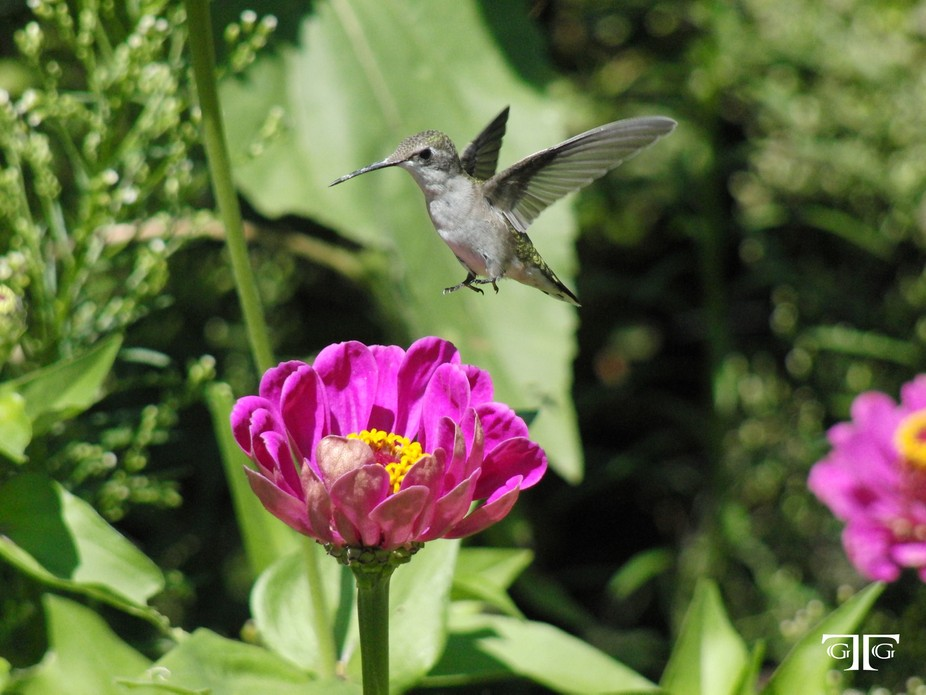 one of many pictures I have of hummingbirds.  I enjoy the challenge of capturing their wings in m...
