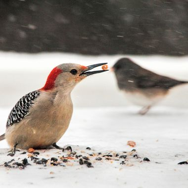 Red-bellied woodpecker shows off his prize.
