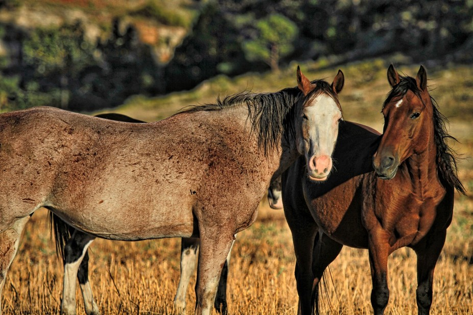 Wild horses in South Dakota.