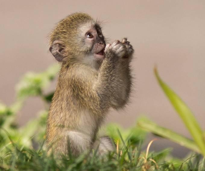 Baby Vervet Monkey by pattack