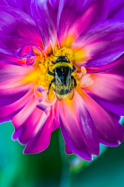 Purple & Yellow Bee Sting