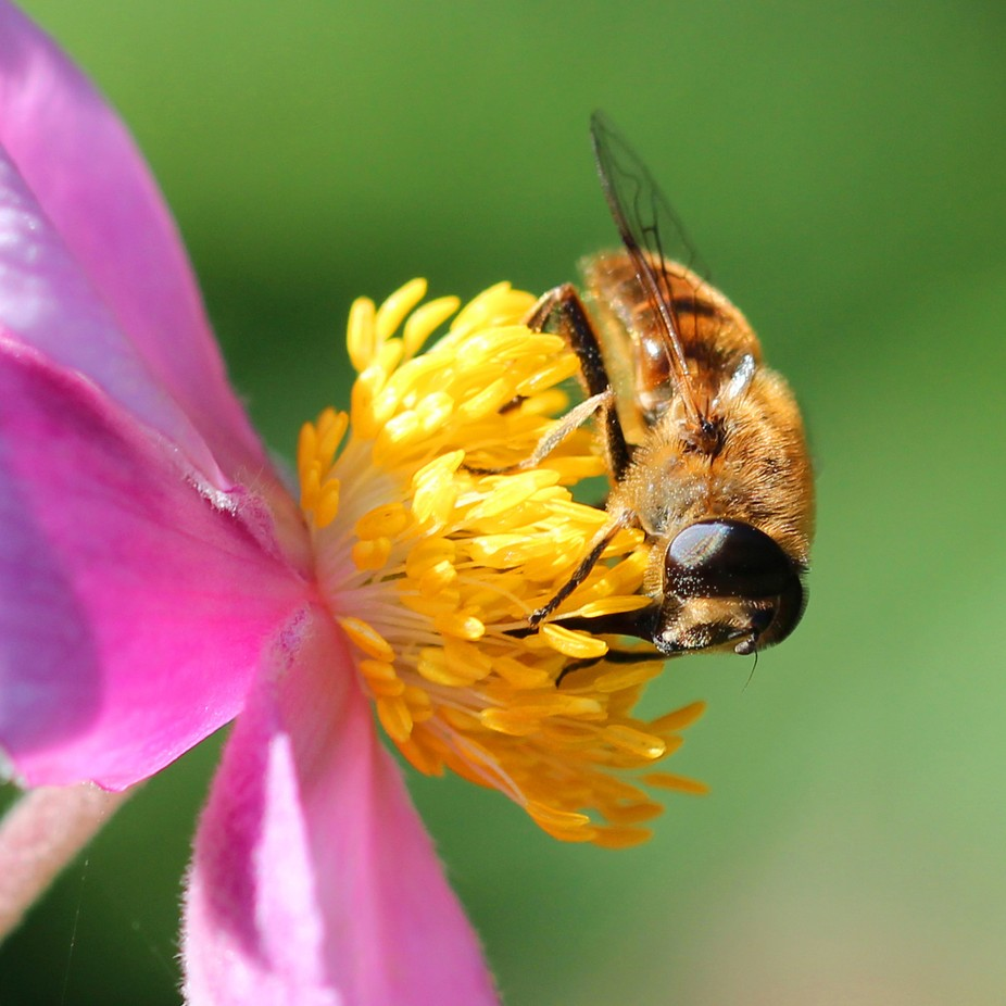 One from the back garden of this bee practically washing itself in pollen.