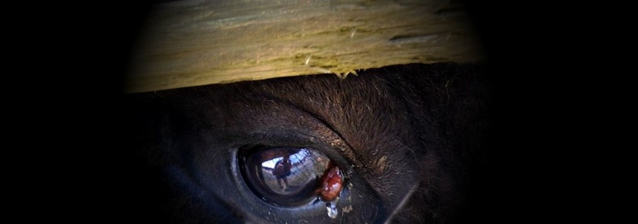 THIS BUFFALO CAME UP TO ME WHILE TALKING TO HIM.....I HAD MY HAND ON THE FENCE, AND HE LAID HIS B...