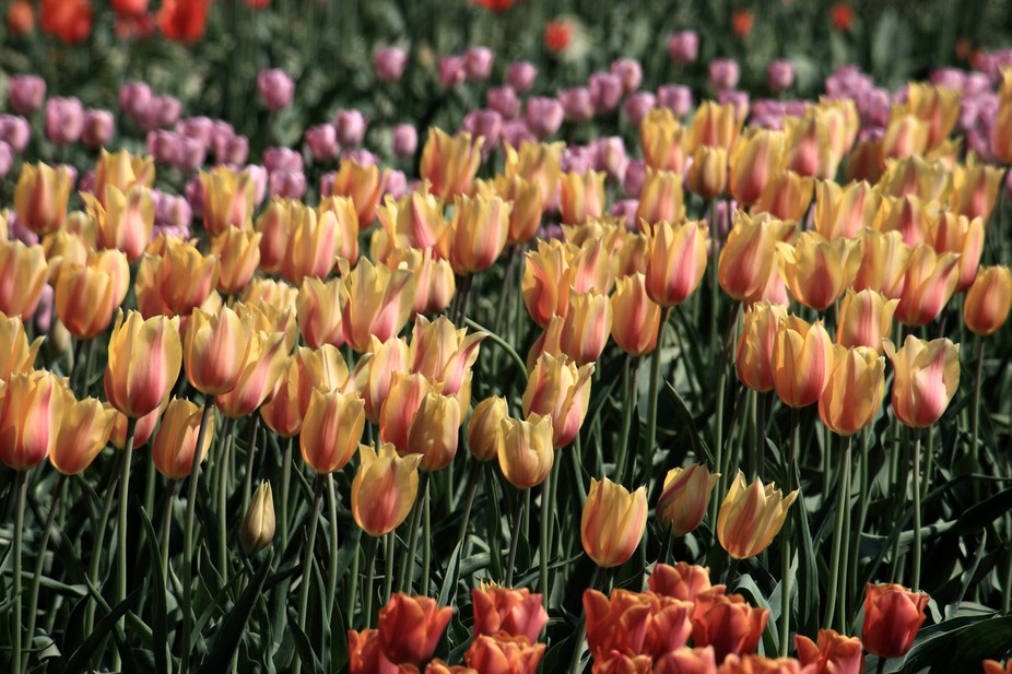Acre upon acre, row upon row -- tulips fill my sight at the annual Wooden Shoe Tulip Festival in ...