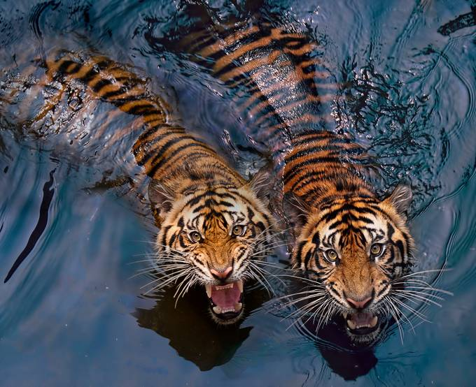 tiger couple by robertelwancinega - Animals And Water Photo Contest