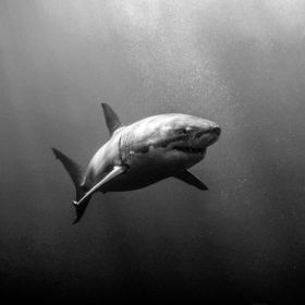 Great White Shark Diving at Neptune Islands South Australia