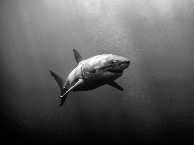 Great White Shark by zachparkerimages - My Best Shot Photo Contest Vol 3