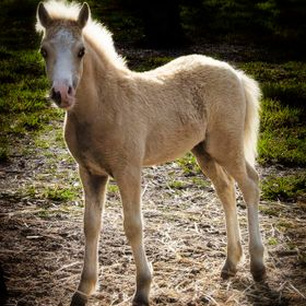 Foal from Centre Stage Stud Welsh pony