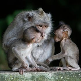 mother and baby macaques, Indonisia temple, Bali