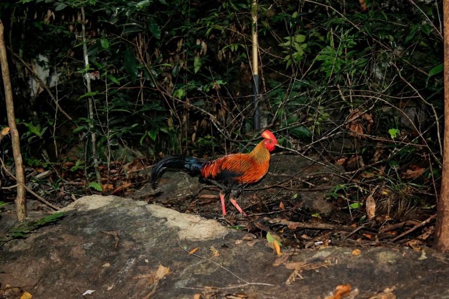 Sri Lankan Junglefowl (Gallus lafayetii)