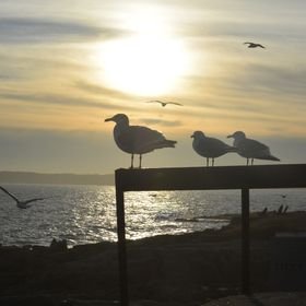 I was on the cliffs of York Beach Main, the sun was going down...I caught some seagulls silhouetted by the sunset!