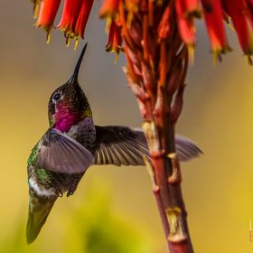Here is a recent spring image. A male Anna's hummingbird is distinguished by a ruby red patch on its chin and head. Amazing for the speed and s...