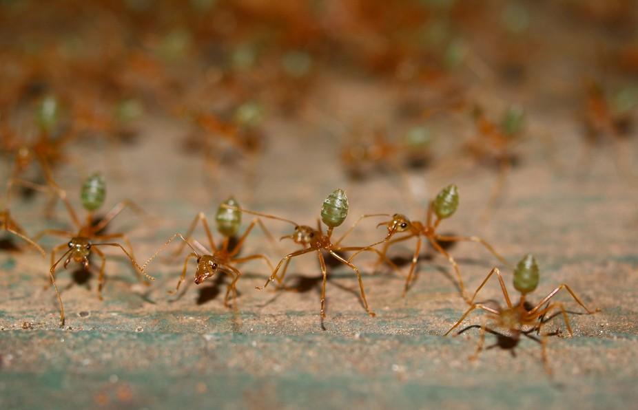 Green ants, Queensland Australia