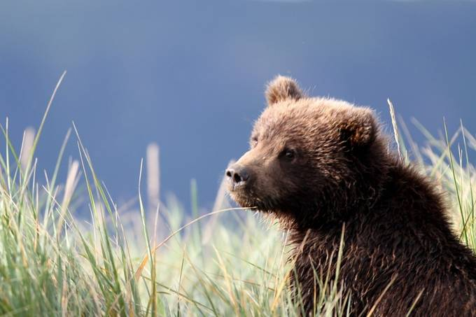 Baby Grizzly - Learning Lessons from mom by karenkaystaats - Baby Animals Photo Contest
