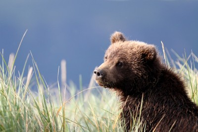 Baby Grizzly - Learning Lessons from mom