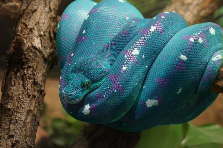 Snake Teal