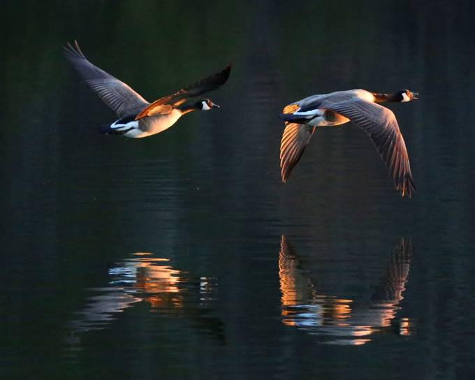 Geese at sunset by MyWildlifeLife - Lakes And Reflections Photo Contest