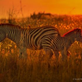 A beautiful baby Zebra was hanging out with its mother during a fantastically colorful sunset at Kruger National Park.