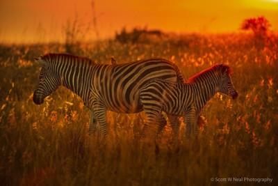 Baby Zebra with Mom - Sunset