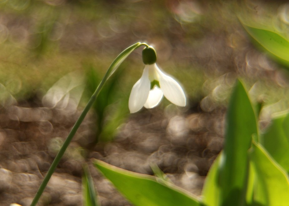 A snowdrop for all women