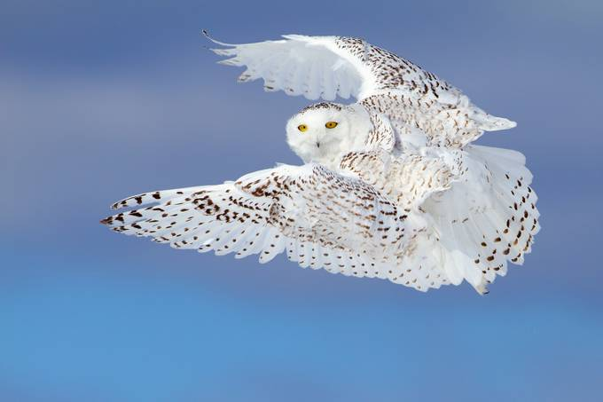 Flight of the Snowy - Snowy Owl by JimCumming - Showing Movement Photo Contest