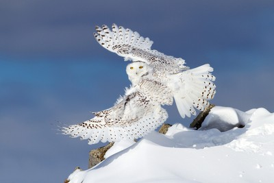 Air Snowy - Snowy Owl