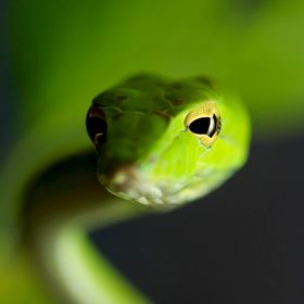 The Asian vine snake poses for its close-up beauty shot
