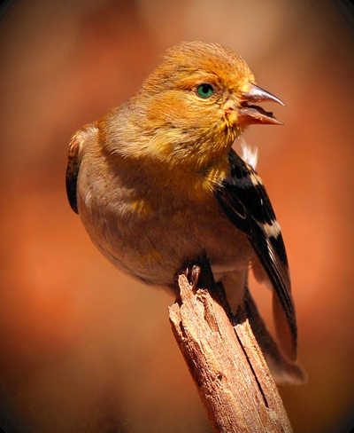 American Gold Finch (Winter Plumage)