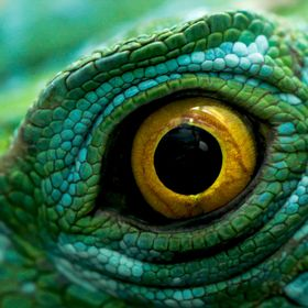 A close up of the eye of a plumed green basilisk lizard aka the Jesus Christ lizard